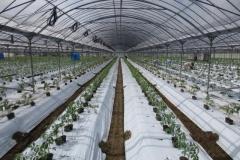 100-2広々としたハウス内でトマト苗の定植作業