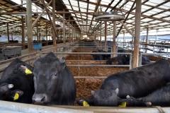 105-3牛の日常管理へ十分な配慮を行っている